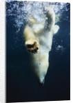 Polar Bear Swimming by Corbis
