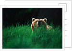 Brown Bear in Tall Grass by Corbis