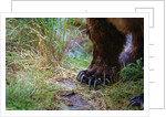 Close-up of Grizzly Bear's Claws by Corbis