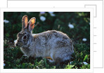 Eastern Cottontail by Corbis