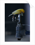 Common Canary on Water Spigot by Corbis