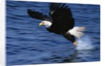 Bald Eagle Grabbing a Fish by Corbis