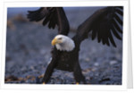 Bald Eagle Spreading Wings by Corbis