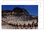 Eye of an American Crocodile by Corbis