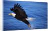 Bald Eagle Grabbing a Fish by Corbis