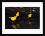 Canaries Standing by Water by Corbis