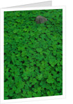 Clover Patch by Corbis