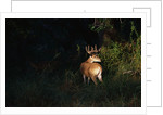 White-Tailed Deer by Corbis