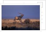 Bull Elk Calling by Corbis