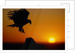 Golden Eagle at Sunset by Corbis