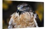 Ferruginous Hawk by Corbis