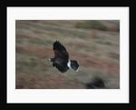 Harris' Hawk in Flight by Corbis