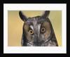 Long-Eared Owl by Corbis