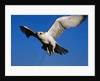Gyrfalcon Landing by Corbis