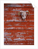 Steer Skull Hanging on a Barn Wall by Corbis