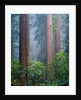 Rhododendrons and Redwoods by Corbis