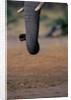 Elephant's Trunk by Corbis