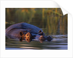 Hippopotamus Swimming in the Khwai River by Corbis