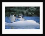 Gentoo Penguins on an Iceberg by Corbis