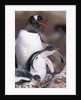 Gentoo Penguin Protecting Her Chicks by Corbis