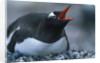 Gentoo Penguin Sitting on Nest by Corbis
