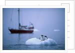 Gentoo Penguins Perching on Small Iceberg by Corbis