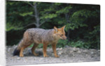 Patagonian Culpeo Fox Being Cautious by Corbis