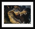 Nile Crocodile with Open Mouth by Corbis