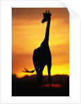 Giraffe Silhouetted at Sunset by Corbis
