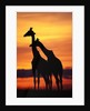 Giraffes Silhouettes at Sunset by Corbis
