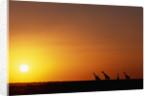 Giraffe Herd at Sunset by Corbis