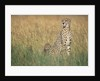 Cheetah with Cubs in Tall Grass by Corbis