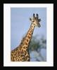 Giraffe at Sunset by Corbis