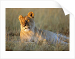 Female Lion Resting by Corbis
