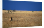 Lone Lioness in Savanna by Corbis