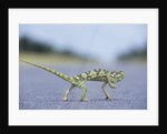 Flap-Necked Chameleon Runs Across a Road by Corbis