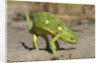 Flap-Necked Chameleon by Corbis