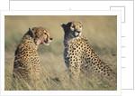 Cheetahs Devouring a Gazelle by Corbis