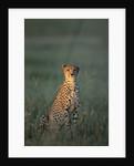 Cheetah Sitting in Grass by Corbis