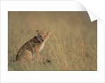 Lion Cub Sitting in Grass by Corbis