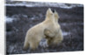 Polar Bears Playing by Corbis
