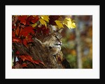 Bobcat Resting in a Tree by Corbis
