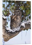 Barred Owl Perched on Branch by Corbis