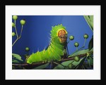 Polyphemus Moth Caterpillar Perching on Twig by Corbis