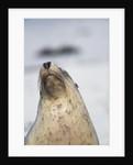 Australian Sea Lion by Corbis