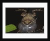 Singing Tungara Frog in Water by Corbis
