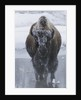 Bison Covered in Frost by Corbis