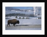 Bison Standing near Geysers in Winter by Corbis