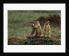 Black-tailed Prairie Dog Family by Corbis