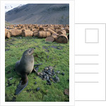 Fur Seal Resting near Rusted Barrels by Corbis